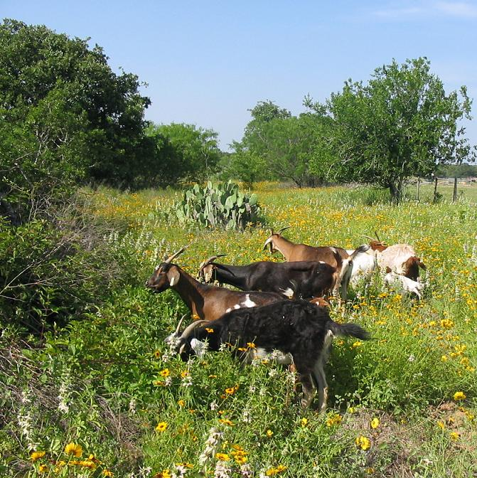 Spanish Goats grazing the bounty of Spring