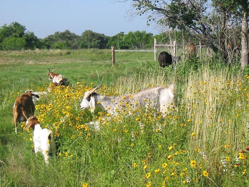 Spanish Goats grazing in Texas wildflowers