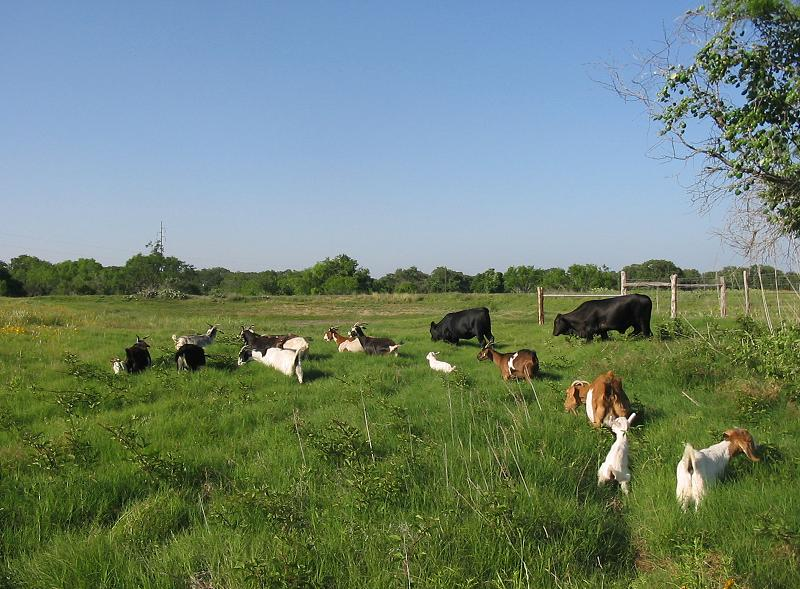 Spanish goats and Brangus heifers in green Bermuda grass
