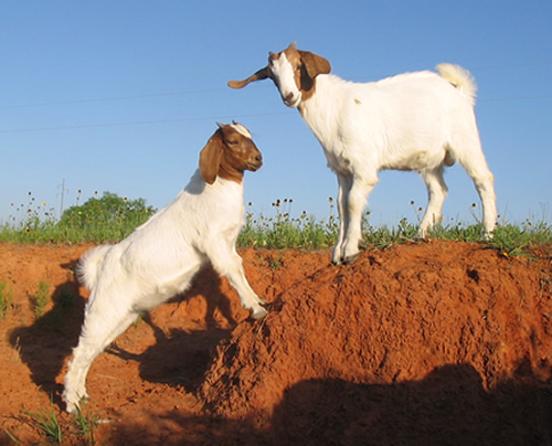 Two Boer kids playing