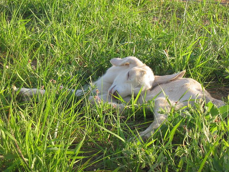 Saanubian kid sleeping in the grass